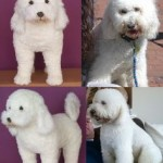 poodle example